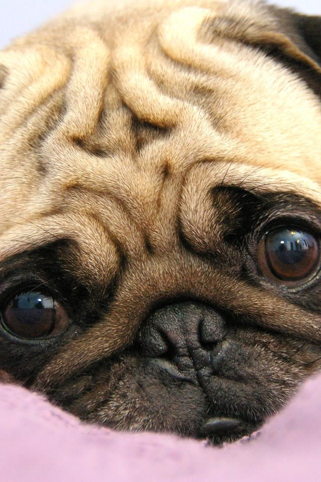 The look of Pug love
