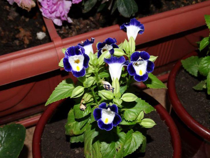 TORÊNIA - ( Torenia fournieri )  Torenia fournieri NOME CIENTÍFICO: Torenia fournieri. NOME POPULAR: Torênia, amor-perfeito-de-verão. FAMÍLIA: Scrophulariaceae. CICLO DE VIDA: Anual. ORIGEM: Vietinã. PORTE: Até 30 cm de altura. FOLHAS: De coloração verde, opostas, pequenas, alongadas e serrilhadas nas margens.
