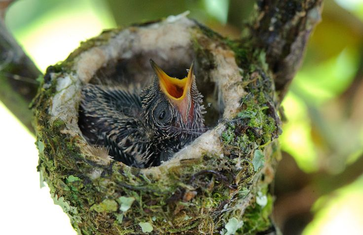 Baby Hummingbirds Grow Up So Fast Babies, Photography