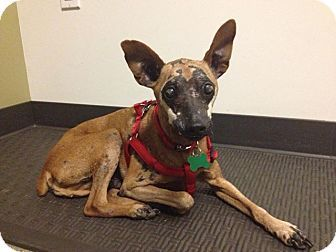 7/20/15 Please adopt me!******Burbank, CA - Miniature Pin Mix. Meet Simon, an 8yo dog for adoption. We believe he may have had chemical burns that left him disfigured. But we still think he's handsome! He's V sweet, friendly & good with other dogs. He's partially blind due to his injuries tho sees well enough to get around. He needs a home that will look past his disfigurement & into his heart. http://www.adoptapet.com/pet/12227930-burbank-california-miniature-pinscher-mix