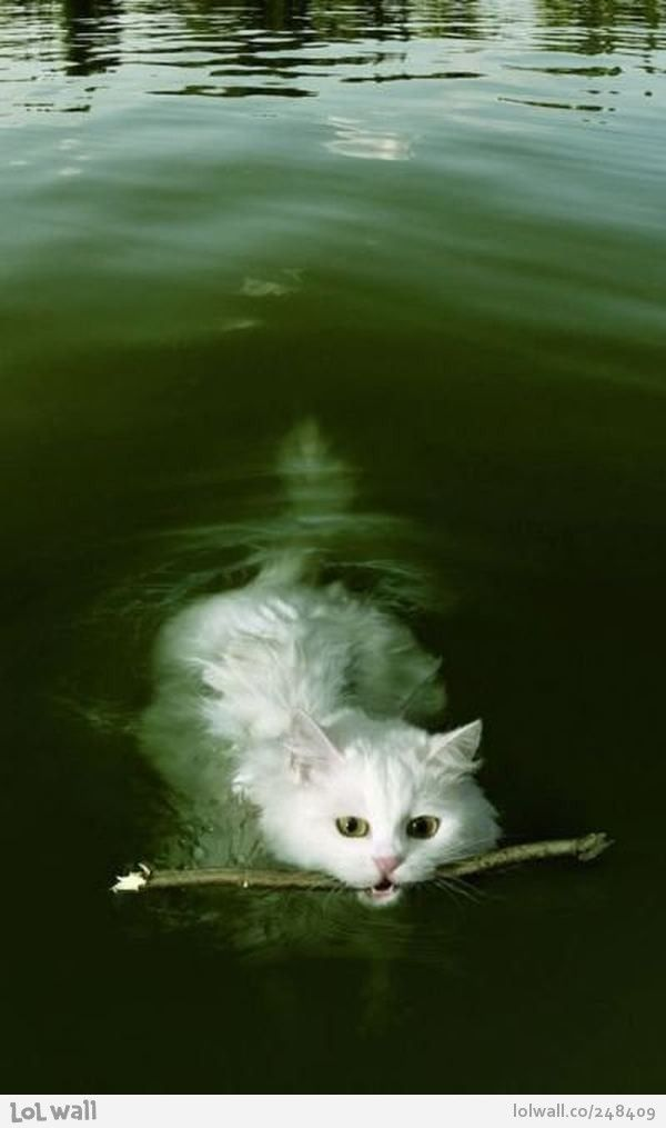 """A 'Turkish Van' (or 'swimming cat') fetching a stick in the water. They love being in water, can't keep them out of it"" • by Cat Andy/ how interesting is this..."