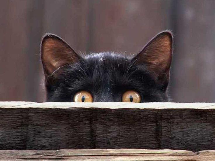 #cat #black #pet #cuccioli