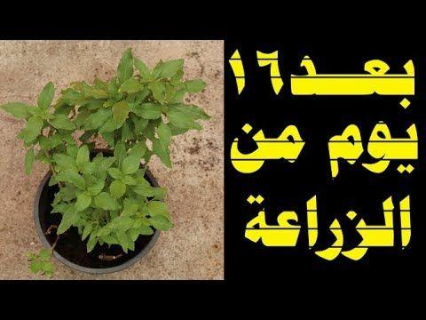 اسهل واسرع طريقة لتكاثر الريحان اسرار لم تكن تعرفها عن زراعة وتسميد ورى الريحان تسريع نمو النبات Youtube Plants Herbs Farm