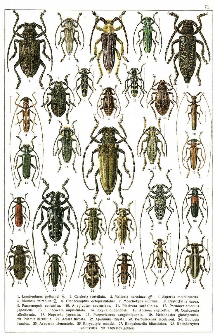 """G.G. Yakobson (1905-1915) - """"Beetles of Russia"""": table 71"""