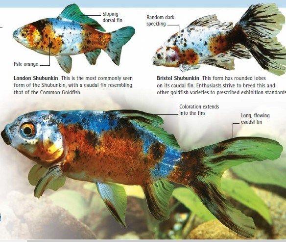 Three Types Of Shubunkin Goldfish American London Bristol Goldfish Types Goldfish Shubunkin Goldfish