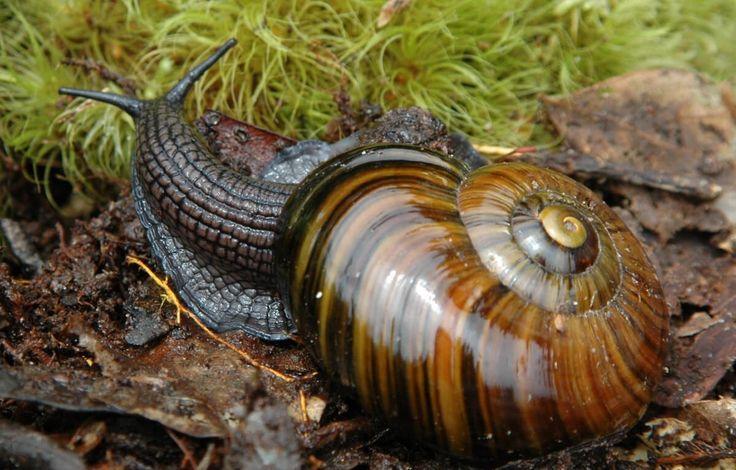 Con ốc sên New Zealand thể hiện tốc độ săn mồi chớp nhoáng khi siết ngạt và nuốt chửng sâu đất dài gấp nhiều lần. [[MORE]]Góc quay cận cảnh từ chương trình Wild New Zealand của BBC Earth hé lộ bản...