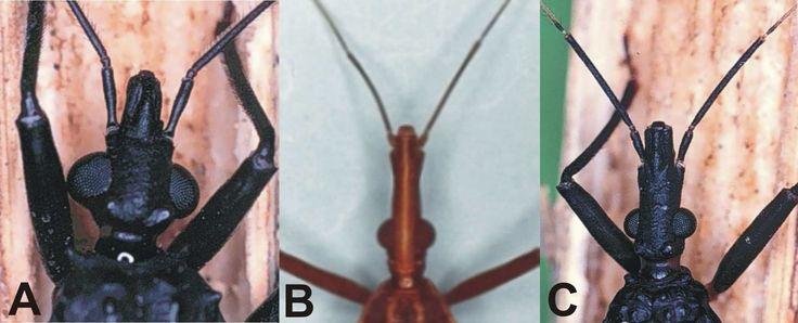 Diferencias entre los  triatominos hematófagos [(vinchuca (desde Ecuador hasta la Patagonia), chipo (Venezuela), pito (Colombia) y barbeiro (Brasil)]  por género: Panstrongylus (A), Rhodnius (B) y Triatoma(C).