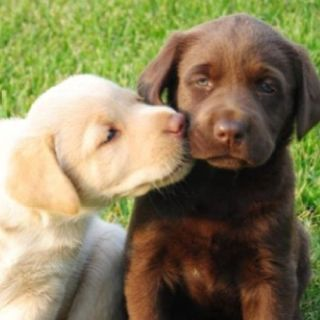 Yellow Chocolate Labrador Retriever - NEVER want to be without these beautiful creatures in my life!