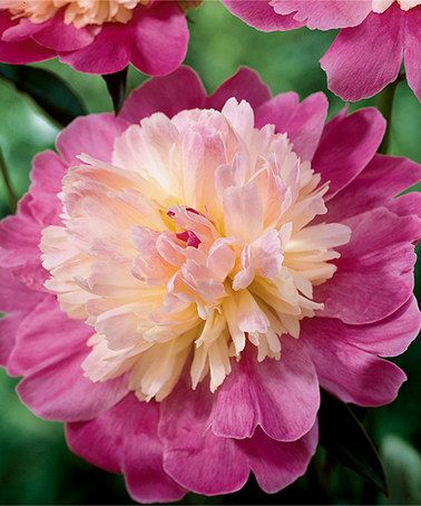 Love this Giant Pink Wonder Peony Plant - Set of Three by Michigan Bulb Company on #zulily! #zulilyfinds