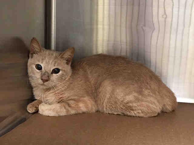 PEACH - A1092341 - - Manhattan  ***TO BE DESTROYED 10/09/16*** THREE HEALTHY GINGER KITTIES NEED YOU TONIGHT OR THE ACC WILL KILL THEM FOR ABSOLUTELY NO REASON!! PEACH, HAMMOND and STAR were dumped in the shelter when their owner's landlord told him to get rid of them because he had too many pets. Last night we saw GEORGE A1092343 on the list and whose status is still unknown. Tonight we see three more housemates scheduled to die. All three of these kitties are PERFEC