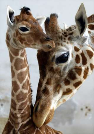 Giraffe & baby - Giraffes see in color[28]:26 and their senses of hearing and smell are also sharp.[13] The animal can close its muscular nostrils to protect against sandstorms and ants.[