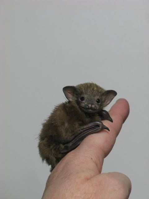OOAK BABY BUMBLEBEE BAT - Megabats (Flying-Fox, Fruit bat) and Microbats