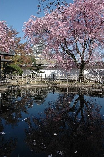 Cherry tree in full bloom in Himeji Castle, Hyogo, #Japan