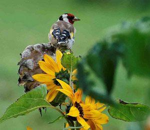 Chardonneret élégant (Carduelis carduelis) se nourrissant de graines de Tournesol