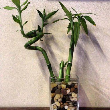 Como cultivar bambú de la suerte.