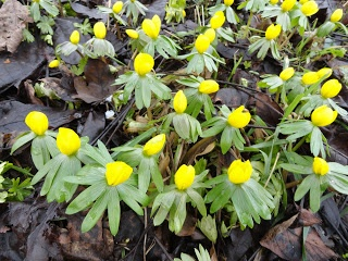 Winterlinge sind eine der ersten Blumen, die im Garten blühen --- Winter aconite are one of the first flowers to blossom in the garden