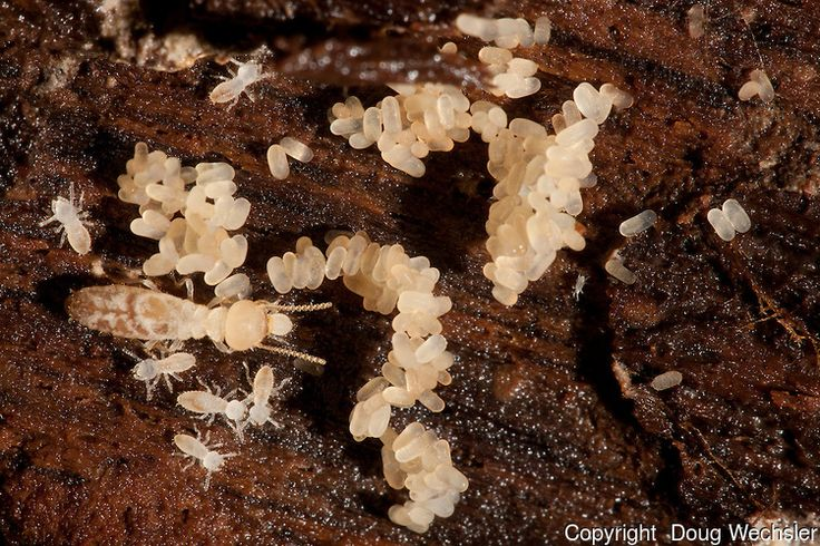 termite eggs hatch