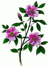 provincial flower of alberta - Wild rose