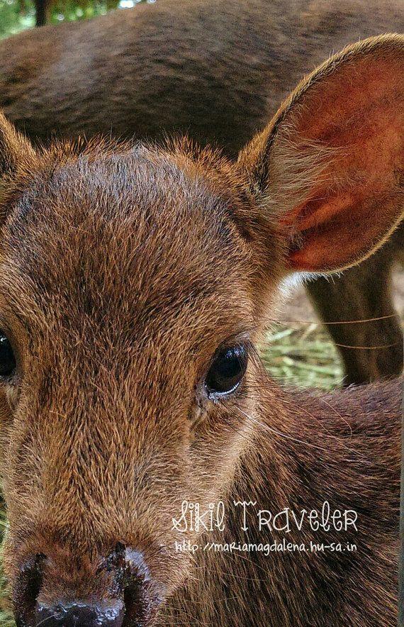 Kancil Animal Photography. Photostock by SikilTraveler on Etsy