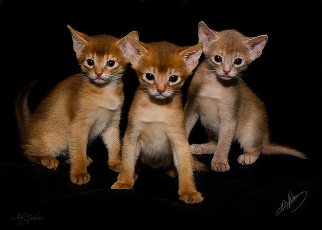 We are the gang!.. (abyssinian kittens on black) by Abysphere, via Flickr