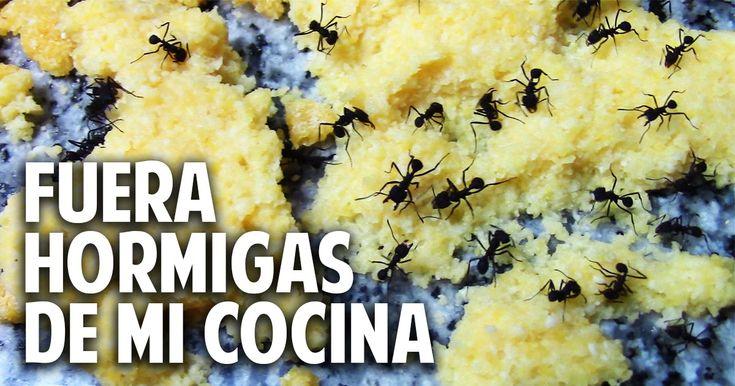 Con este método eliminamos las hormigas de nuestra casa, sin utilizar venenos. Simplemente harina de maíz o polenta y acido borico que es ...