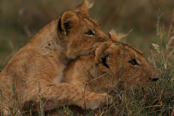 hunting lessons- Masai Mara...: Photo by Photographer Theodore Mattas