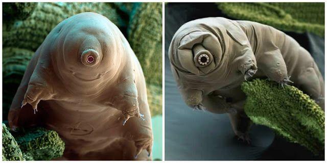 Tardígrado, El animal mas resistente del planeta