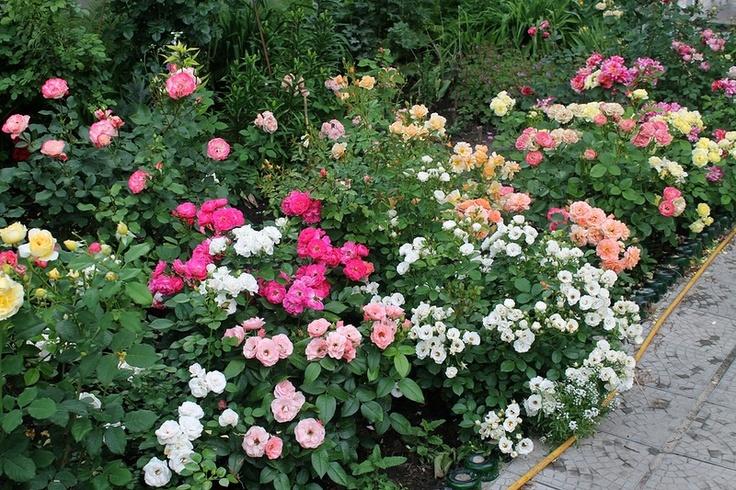 Бордюрные розы Дельбара Bordure Delbard (Rose, Nacree, Magenta, Blanche (2), Abricot (2)