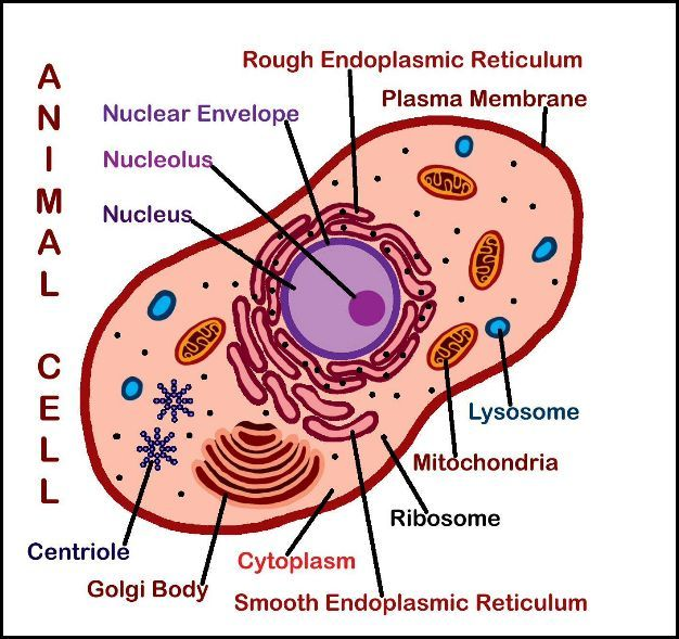 2 New Downloads  Plant  U0026 Animal Cell Posters  Labeled