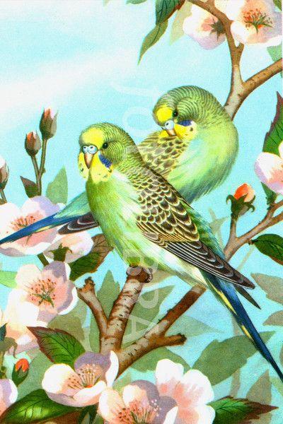 Two budgerigars, vintage art.