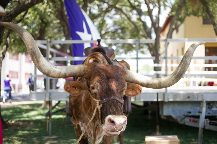 #longhorn     photo by Brian Hutson: Photos, Fort Worth, Longhorn Photo