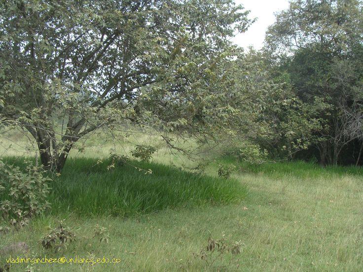 Guazuma ulmifolia + Brachiaria decumbens + botriocloa pertusa. vladimirsanchez@unillanos.edu.co