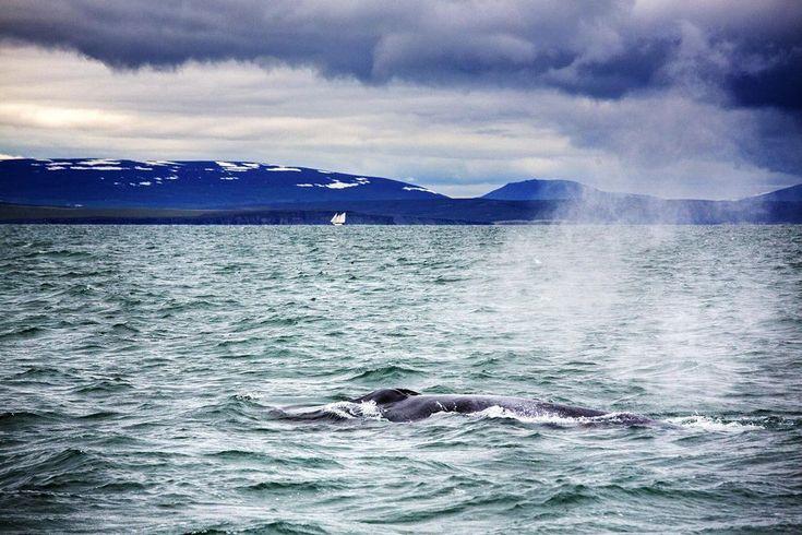 Island: Det stora blå. Världens största däggdjur tittar upp. Foto: Johan Marklund