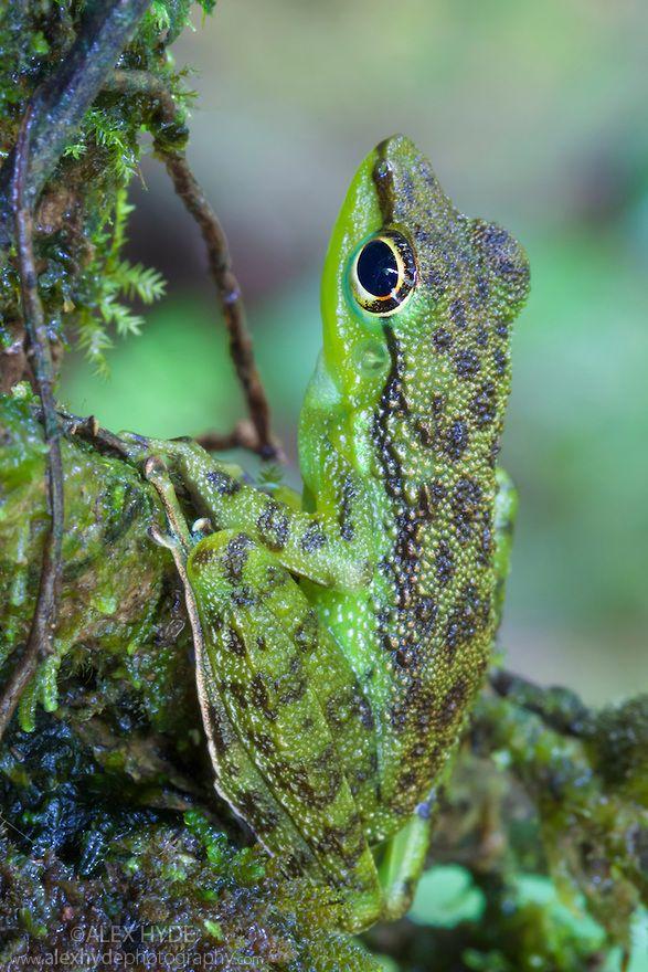 Black-spotted Rock Frog (Staurois natator) - Sabah, Borneo