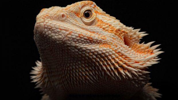 Amazing Bearded Dragon Face Background Bearded Dragon Reptiles And Amphibians Bearded Dragon Cute
