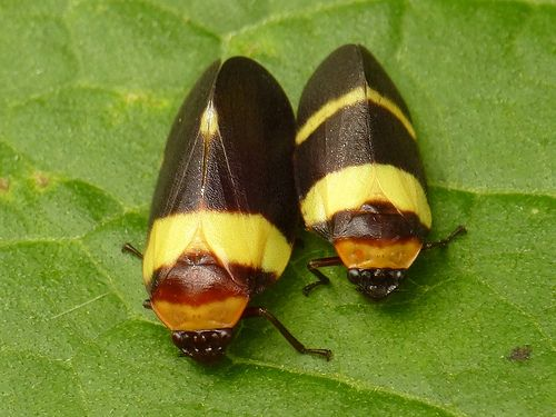 Froghoppers, Prosapia sp.?
