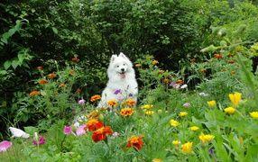 Белая собака бежит по цветкам