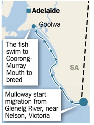 Where Mulloway comes from