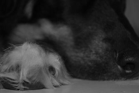 Sleeping dog portrait