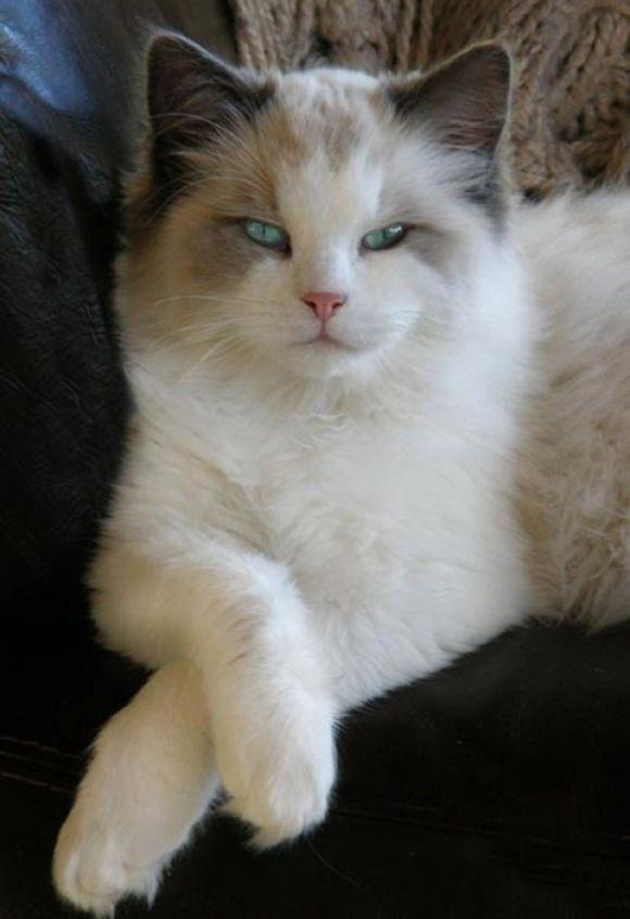 The Amazing Cat Species Cats Cute Cats Pretty Cats