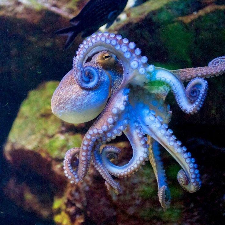 Riesen Octopus
