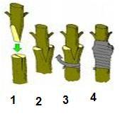 A enxertia é um dos métodos de propagação de plantas mais utilizados na atualidade. Possibilita cruzar características de duas ou mais plantas que sejam da mesma família botânica para criar outra p…