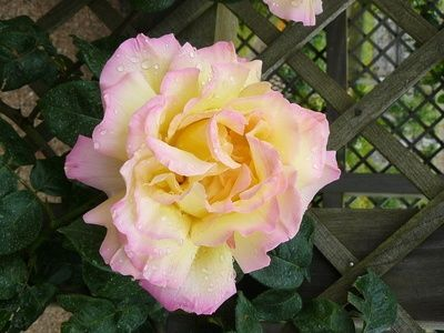 How Big a Container Do I Need to Plant a Rose? thumbnail