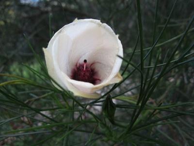 Australian native plant in Adelaide