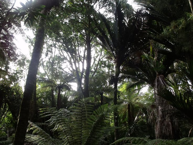 Looking through the canopy - native Nikau Palms and tree ferns :)