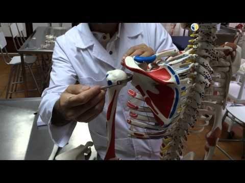 Anatomía Funcional de Miembro Superior I - YouTube