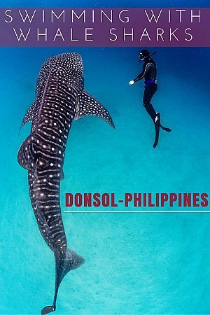 Swimming with Whale Sharks in Donsol, Philippines