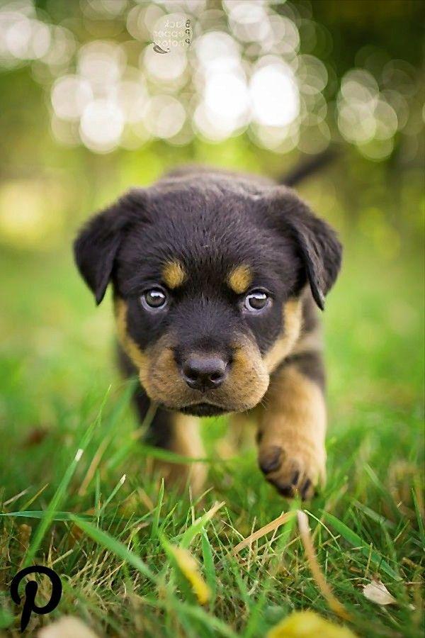 Rottweiler Puppy Rottweiler Puppy Rottweiler Puppies
