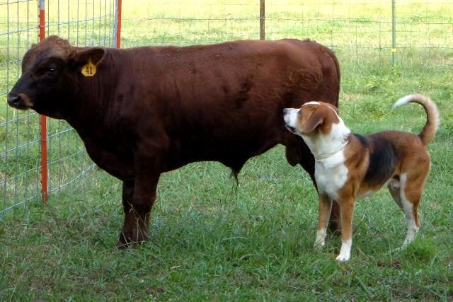 Dexter cattle are ideal for small homesteads.