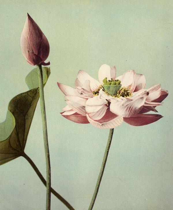 Ogawa (FLE0008)  Etude de fleurs, Japon 1893. Collotype réhaussé à l'aquarelle.